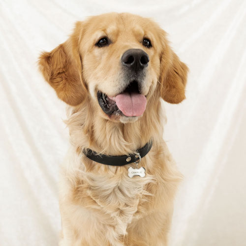 labrador draagt zilveren hondenpenning
